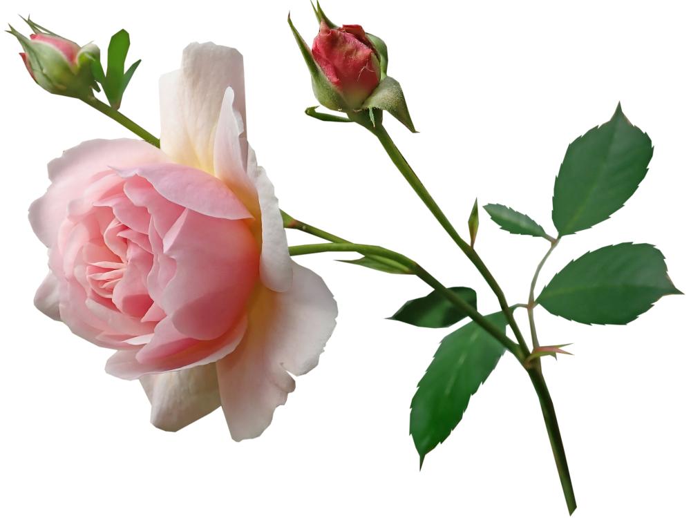 rose-3780353_1920.png