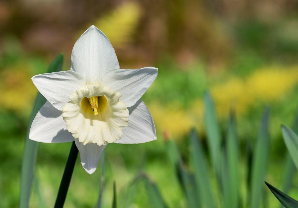 narcissus-3302791.jpg
