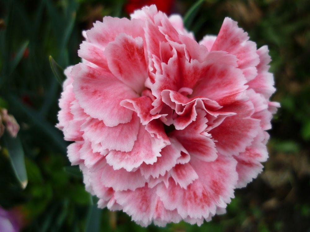 carnation-2507541_1280.jpg