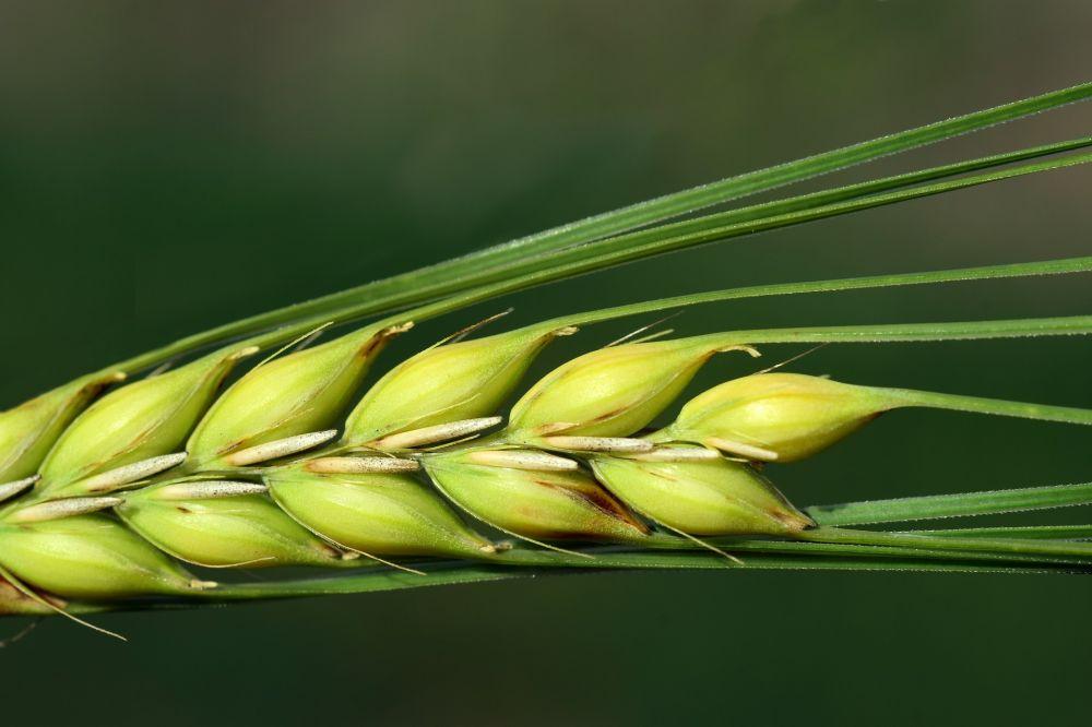 barley-3472557_1920.jpg