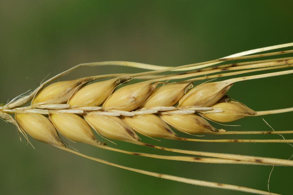 barley-3472570_1920.jpg