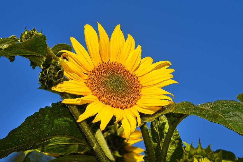 sunflower-3534697_1920.jpg